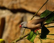 Free Long Tailed Finch Royalty Free Stock Photos - 21225978