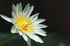 Free Lotus Stock Images - 21226484