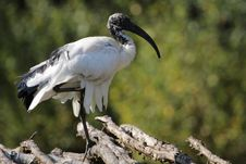 Free African Sacred Ibis Royalty Free Stock Photography - 21227347