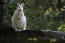 Albino Bennet Kangaroo Royalty Free Stock Images