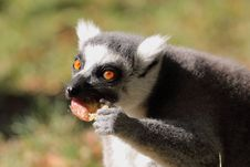 Free Eating Lemur Catta Stock Photos - 21227473