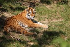 Free Lying Siberian Tiger Royalty Free Stock Images - 21227669