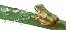 Free Little Frog Over Rush Royalty Free Stock Image - 21227756