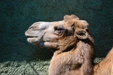 Free Camel Royalty Free Stock Photo - 21227805