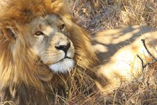 Free African Lion, Zimbabwe Royalty Free Stock Photography - 21228417