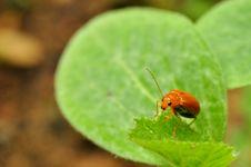Free Leaf Beetle Stock Photo - 21228470