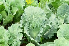Free Cabbage Stock Photos - 21228823