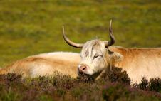 Free Cattle Stock Images - 21228874