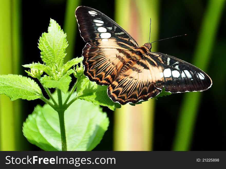 The Brown Clipper Butterfly
