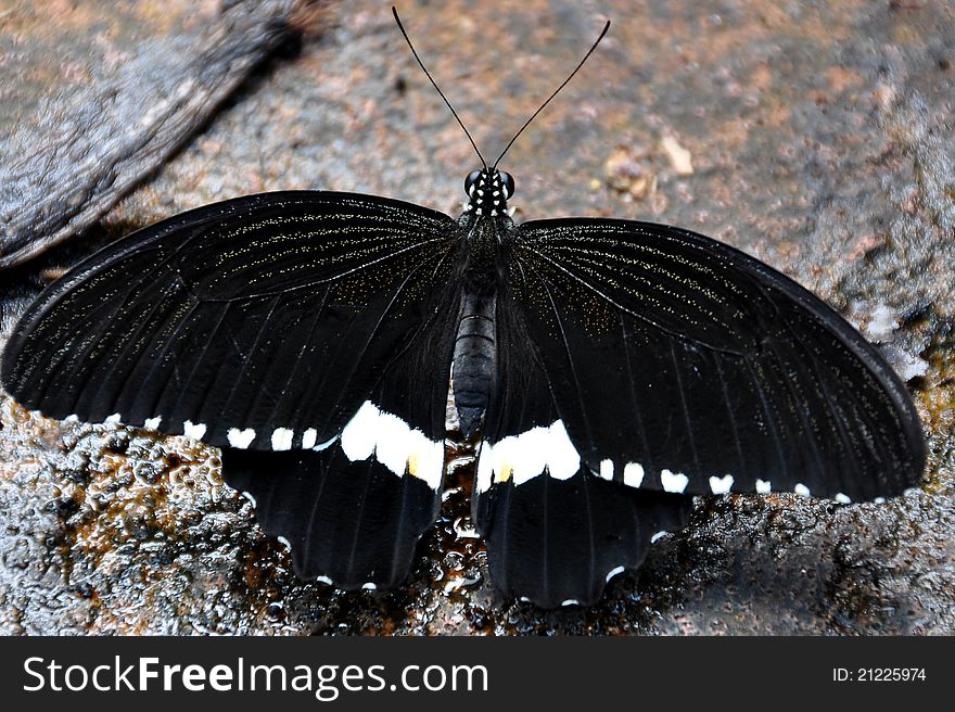 Male Common Mormon Butterfly