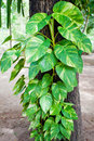 Free Leaf On Tree Royalty Free Stock Images - 21235689