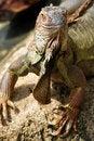 Free Iguana Royalty Free Stock Photos - 21236028