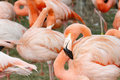 Free Flamingo Royalty Free Stock Photos - 21236938