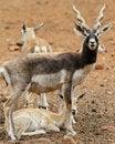 Free Blackbuck Family Royalty Free Stock Photo - 21237075