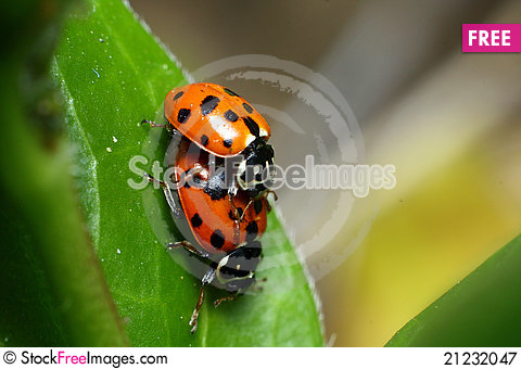 Free Mating Ladybirds Royalty Free Stock Photography - 21232047