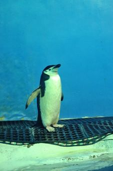Free Penguin Royalty Free Stock Images - 21230559