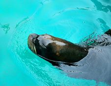 Free Sea Lion Royalty Free Stock Photography - 21230627