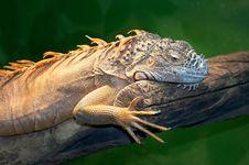 Free Iguana Royalty Free Stock Photography - 21230667