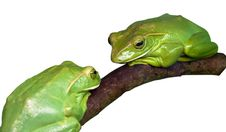 Two Green Wood Frog Stock Photo