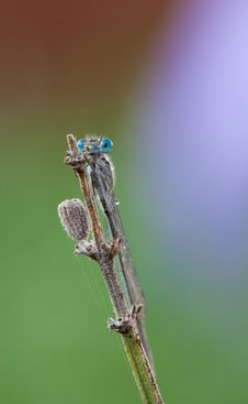 Free A Neon Blue Enallagma Damsefly Perching On A Plant Stock Photos - 21231273
