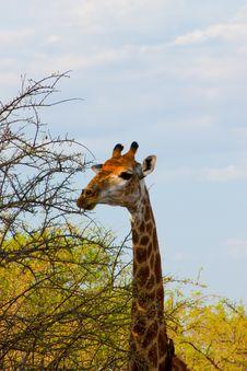 Free Wild Giraffe Stock Image - 21231441