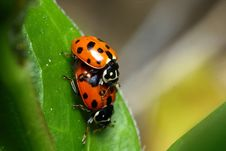 Mating Ladybirds Royalty Free Stock Photography
