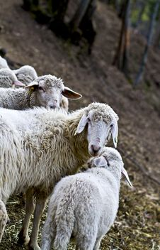 Free Sheep In The Mountains Royalty Free Stock Images - 21232329