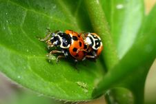 Mating Ladybirds Eating Plant Lice Stock Images