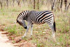 Free Zebra Royalty Free Stock Photography - 21232357