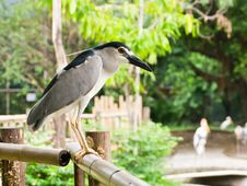 Black-crowned Night-heron Royalty Free Stock Photos