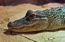 Free Young Alligator Stock Images - 21233694