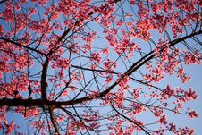Free Pink Flower(sakura) Stock Photo - 21234890