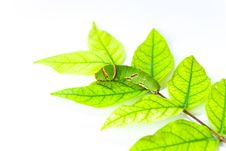 Free Caterpillar Eat Leaves. Stock Photo - 21235190