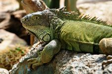 Free Iguana Royalty Free Stock Photography - 21235987