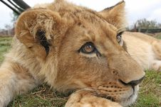 Free Lion Cub Stock Photography - 21236402