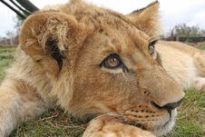Free Lion Cub Stock Photography - 21236402
