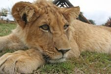 Free Lion Cub Royalty Free Stock Photography - 21236467