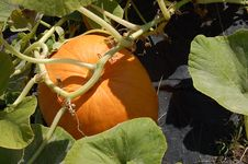 Free Growing  Pumpkin Royalty Free Stock Photography - 21236517