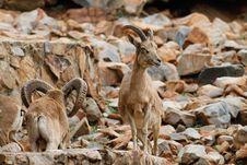 Free Mountan Goat Stock Images - 21237624