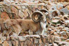 Free Mountan Goat Stock Photo - 21237710