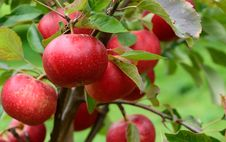Free Discovery Apples Stock Images - 21237984