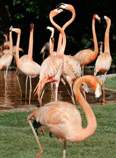 Free Flamingo Royalty Free Stock Image - 21238366