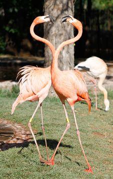 Free Flamingo Stock Photo - 21238390