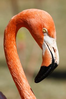 Free Flamingo Royalty Free Stock Photo - 21239005