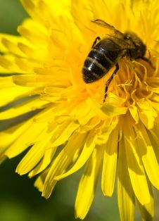Free Bee On The Dandelion Royalty Free Stock Image - 21239146
