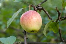 Free Apple Tree Stock Image - 21239361