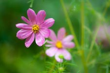 Free Cosmos Flower Royalty Free Stock Photos - 21239368
