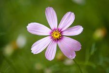 Free Cosmos Flower Royalty Free Stock Photo - 21239395