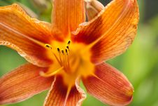 Free Orange Lily In Garden Royalty Free Stock Photography - 21239607