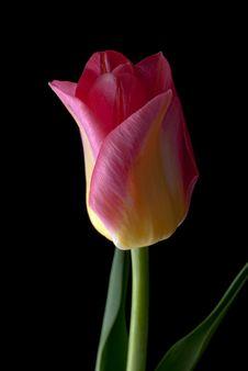 Free Tulip On Black Stock Image - 21239981